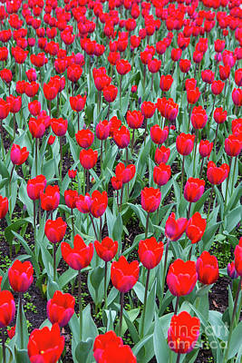Designs Similar to Tulips In Kristiansund, Norway