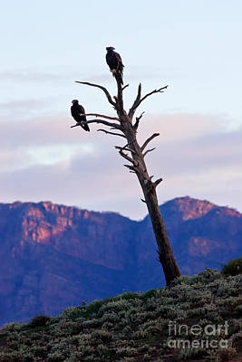 Designs Similar to Wedge Tail Eagles