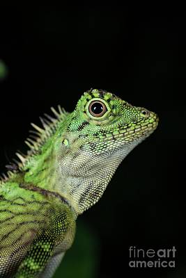 Designs Similar to Bornean Angle-headed Lizard 1