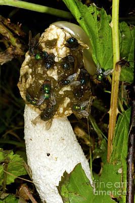 Designs Similar to Stinkhorn Fungus