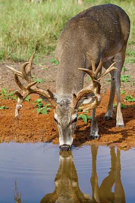 Designs Similar to White-tailed Deer (odocoileus