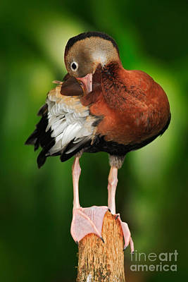 Designs Similar to Black-bellied Whistling-duck