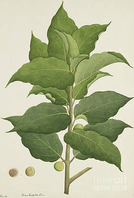 Designs Similar to Ficus Hispida Linn