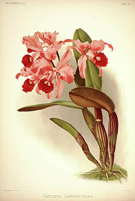 Designs Similar to Orchid, Cattleya Lawrenceana