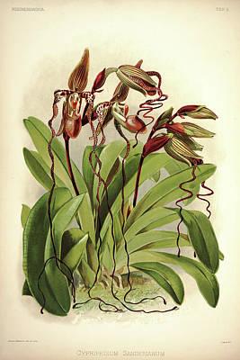 Designs Similar to Orchid, Cypripedium Sanderianum