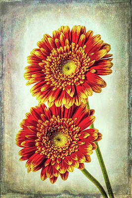 Designs Similar to Two Textured Gerbera Daisies
