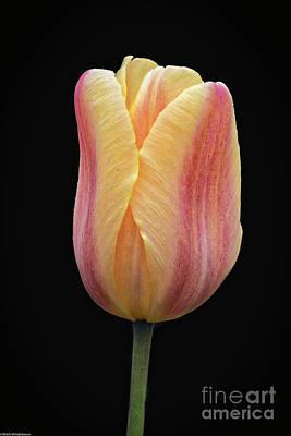 Designs Similar to Tulip On Black