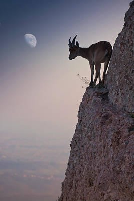 Goat Photographs