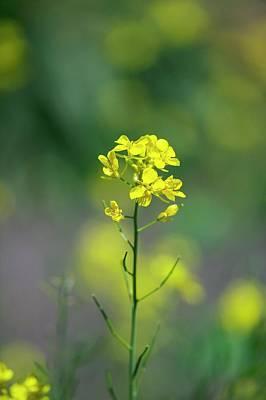 Brassica Juncea Photographs