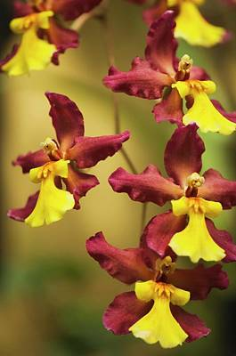 Tiger Orchid Photographs