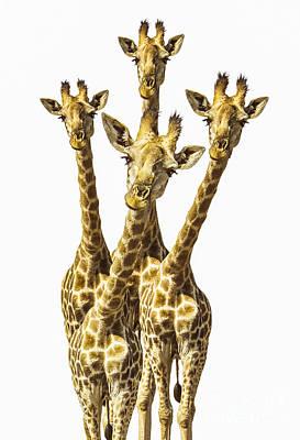 Giraffes Photographs