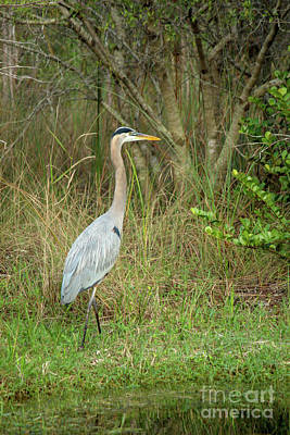 Photograph - Blue Heron in everglades by Doug Moore