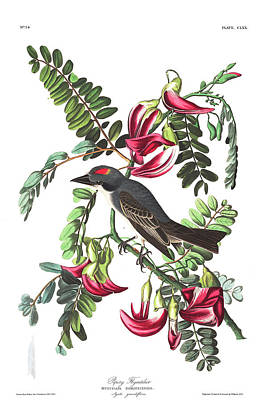 Flycatcher Paintings