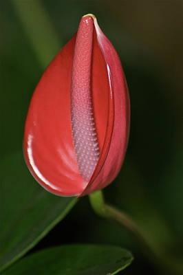 Designs Similar to Red Anthurium by Eddie Freeman