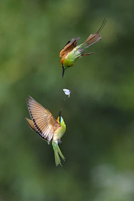 Bee Eater Photographs