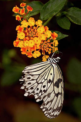 Paper Kite Butterfly Photographs