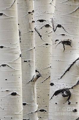 White Birch Photographs