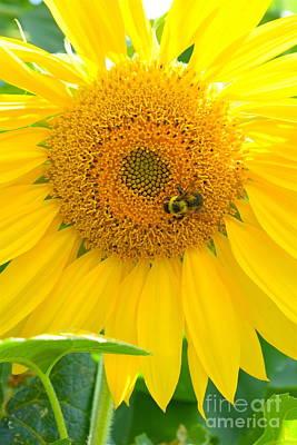 Photograph - Bee Sunflower by Sherry Little Fawn Schuessler