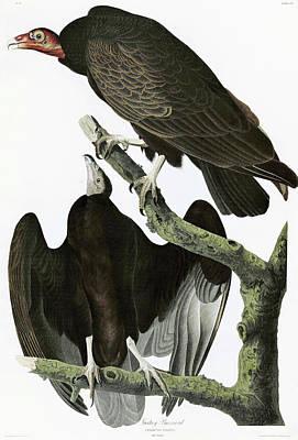 Turkey Vulture Paintings