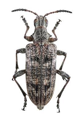 Designs Similar to Ribbed Pine Borer Beetle