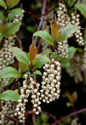 Designs Similar to Stachyurus Praecox