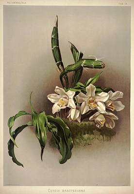Designs Similar to Orchid, Cysis Bractescens