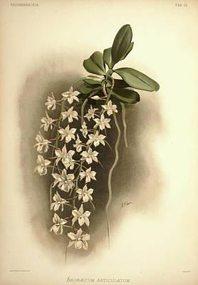 Designs Similar to Orchid, Angraecum Articulatum