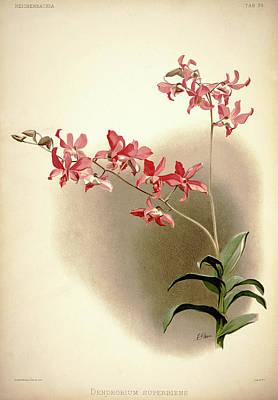 Designs Similar to Orchid, Dendrobium Superbiens