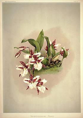 Designs Similar to Orchid, Odontoglossum Rossii