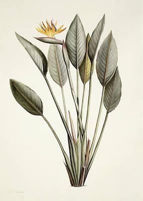 Strelitzia Prints