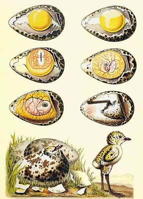 Baby Bird Drawings Prints