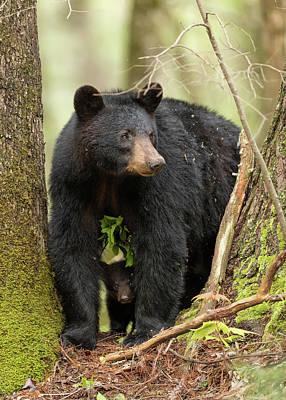 Black Bear Cubs Photographs