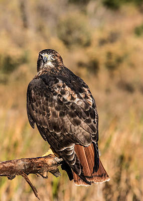 Designs Similar to Red-tailed Hawk Looks Back