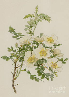 Designs Similar to Rosa Spinosissima Var Altaica