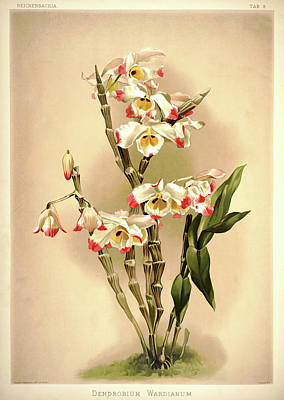Designs Similar to Orchid, Dendrobium Wardianum