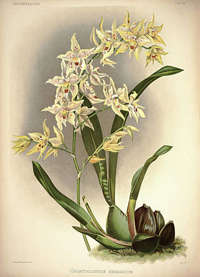 Designs Similar to Orchid, Odontoglossum Hebraicum