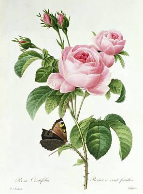 Designs Similar to Rosa Centifolia