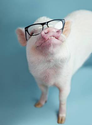 Pig Photographs