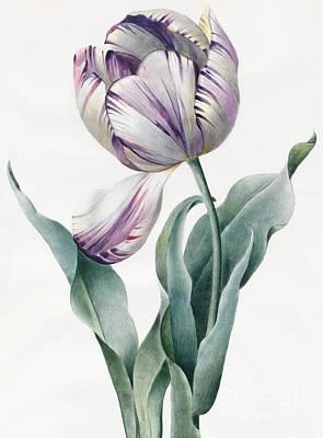 Tulip Drawings