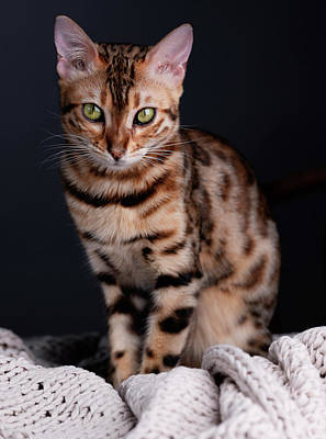Designs Similar to Bengal Cat Portrait