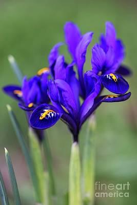 Designs Similar to Iris Reticulata 'alida' Flowers