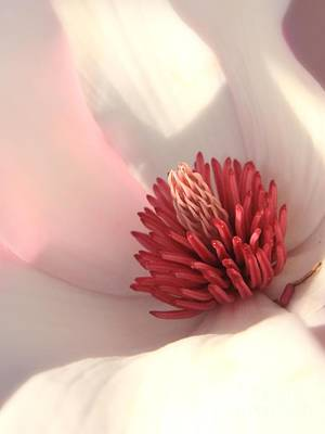 Saucer Magnolia Photographs