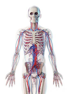 Designs Similar to Male Vascular System
