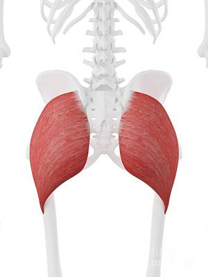 Designs Similar to Gluteus Maximus Muscle