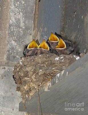 Swallow Chicks Prints