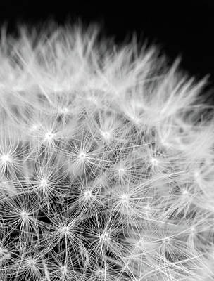Taraxacum Photographs