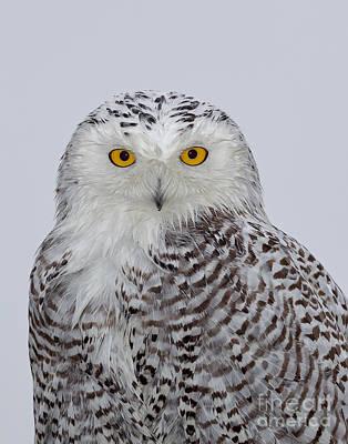 Designs Similar to Snowy Owl by Joshua Clark