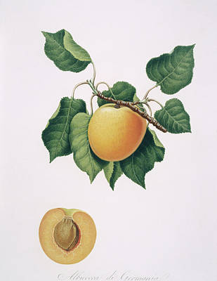 Designs Similar to Apricot