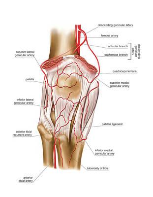 Tibial Artery Art | Fine Art America