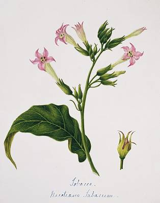 Designs Similar to Tobacco Flowers